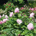 素敵なバラの小路